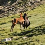 wild horse spain. Caballos Sueltos España