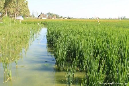 rice pond in spain